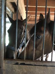 gelding and mare In Stall