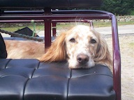 carriage dog English setter barn dog