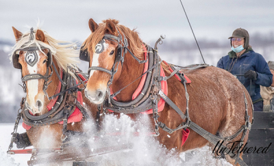 Belgians Cap and Jet put to Sleigh. Granite State Carriage Association